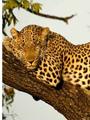 Экстравагантный тренд №1: леопардовый принт